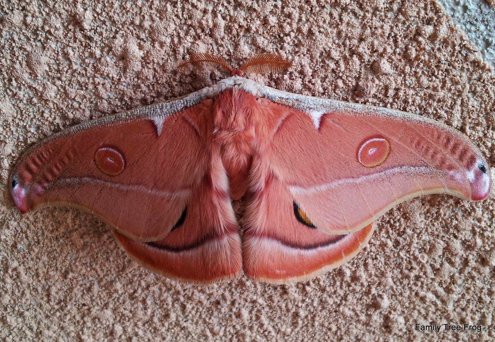 picture of tan or pink coloured mother with four eyes - two on top wings and two more marked (edged in black) on bottom wings