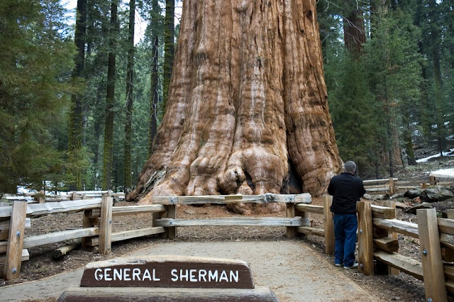 pohon raksasa general sherman