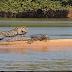 Jaguar Attacks Crocodile (EXCLUSIVE VIDEO)
