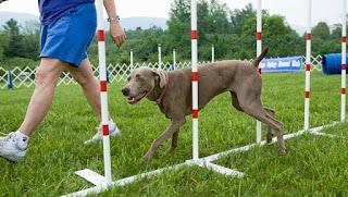 Cuatro señales que son utilizadas universalmente por los entrenadores de perros