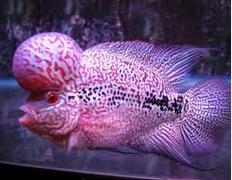 Jenis Ikan Hias Louhan Dan Harganya Di Pasaran