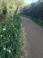 Jogashima daffodils