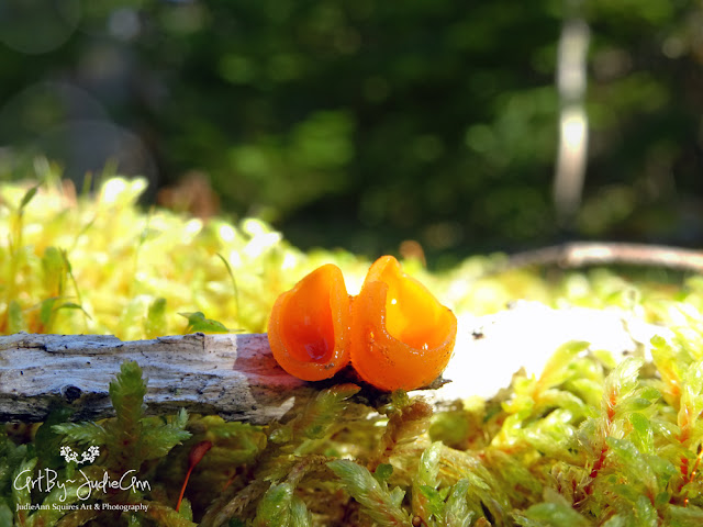 Orange faerie cup fungus photo