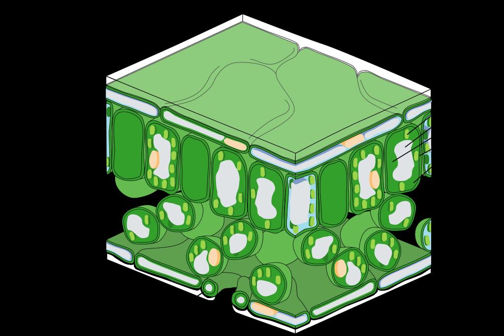 Estructura a escala de la hoja