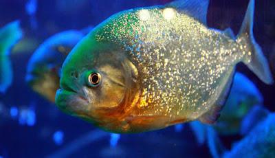 Ikan piranha asal Amazon