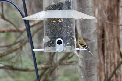 male goldfinch starting to show breeding colors