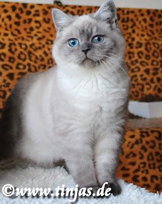 BKH kitten silverpoint