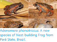 https://sciencythoughts.blogspot.com/2019/08/adenomera-phonotriccus-new-species-of.html