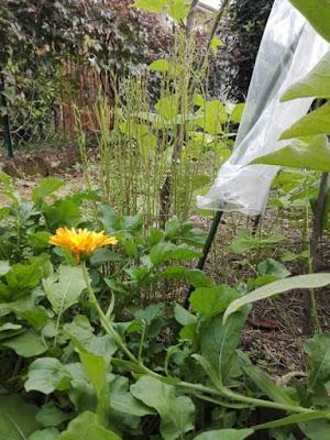 Coltivare fiori nell'orto: calendula, rucola, lino, patate.