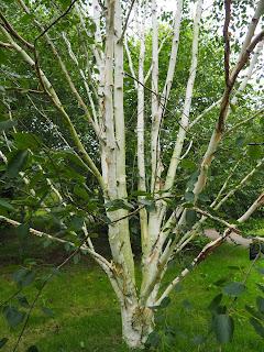 Betula utilis - ssp. jacquemontii - 'Doorenbos' - Himalayan Birch  - 5935 a  Ness Botanic Gardens -  University of Liverpool  per Teresa Grau Ros