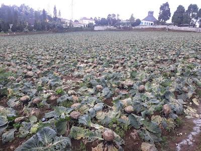 Cerita Petani di Karo Saat Harga Kol Rp200/Kg, Ada yang Tidak Panen dan Membiarkan Busuk di Ladang