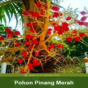 ciri ciri pohon pinang merah