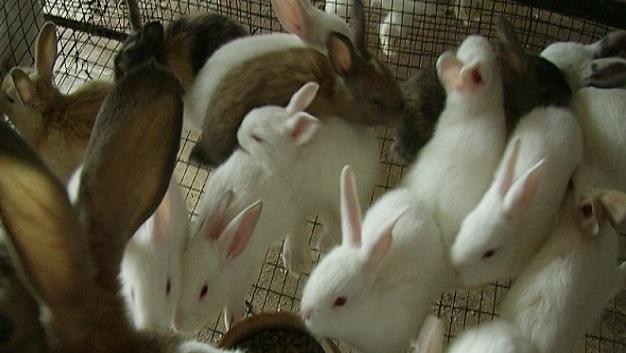 tips budidya kelinci