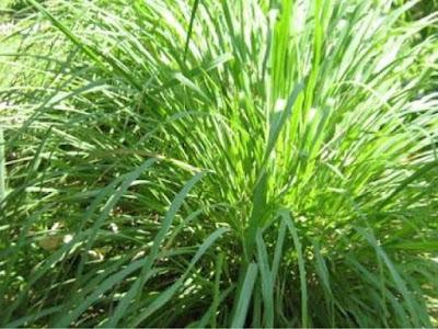 Chrysopogon zizanioides tanaman pengusir nyamuk