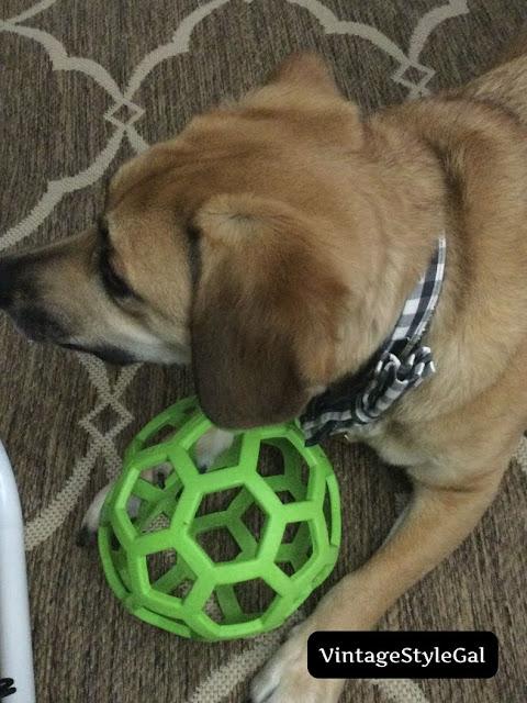 German Shepherd Beagle pup playing with ball