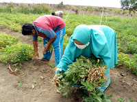 Pupuk Organik Cair Untuk Kacang Tanah Terbaik