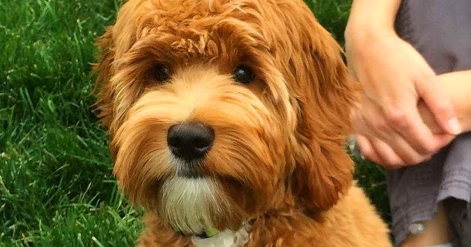 Some Important Facts That Will Guide You Before Buying The 1Australian Labradoodle Breeders