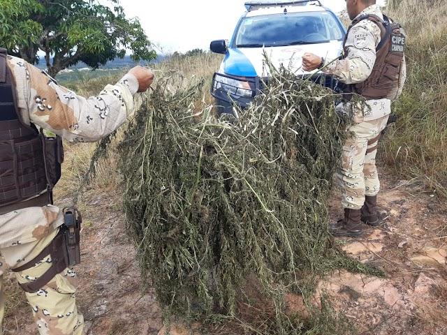 Ação da Polícia localiza mil pés de maconha prontos para serem comercializados em Seabra/BA