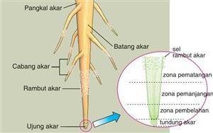 bagian bagian akar