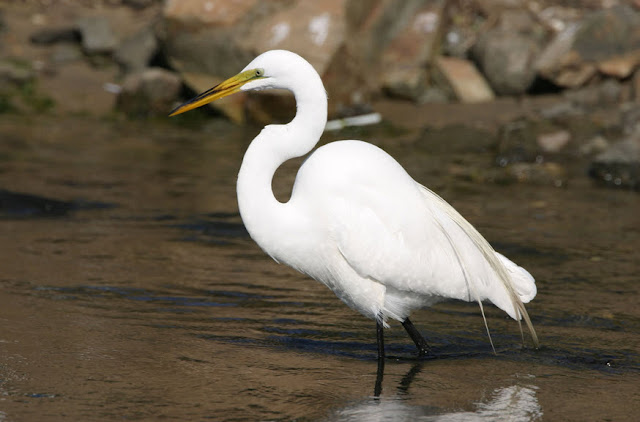 Great Egret - Facts, information and pictures 3