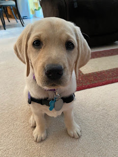 An 8-week-old yellow Lab puppy sits and stares at the camera