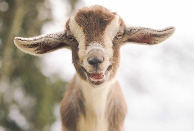cabra feliz