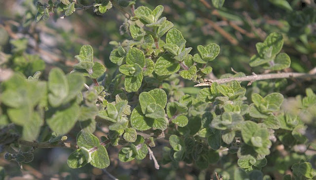 New leaf growth on established oregano plant