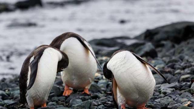 Penguin Menembakkan Tinja Sejauh 1,2 Meter dan Menghasilkan Gas Tawa