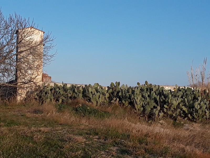 cactus à Castello d'Empuries