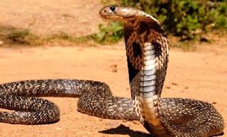Raja Ular Paling Beracun, Ini Dia Fakta Menarik Ular Kobra yang Jarang Diketahui