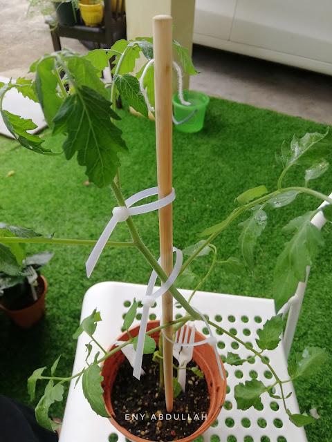 Tips tanam tomato, tips semai benih tomato, baja pokok tomato, baja kopi, Baja AB,