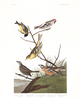 Townsend's Bunting (pictured bottom left). Plate 400. Illustration: John James Audubon.