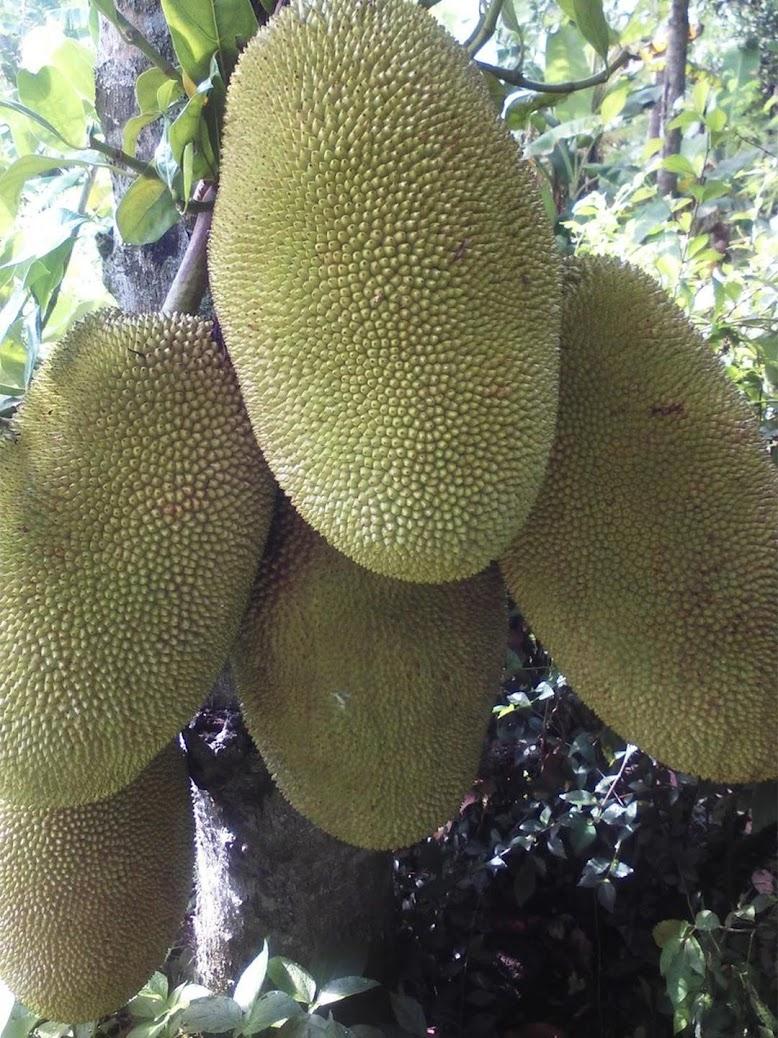 Bibit Nangka Jumbo Riau