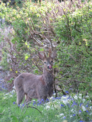 Photo of a roe deer buck, with bluebells and wild garlic flowers