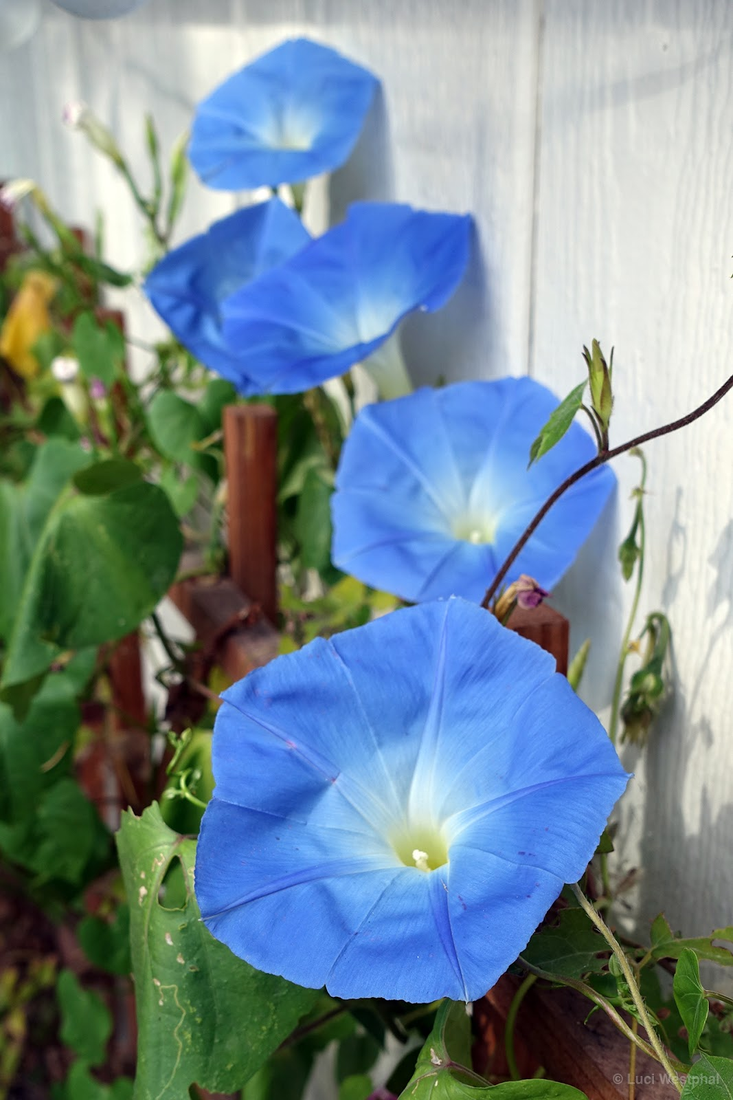 on morning glory in the meantime moonflower in full bloom 1 2 morning ...