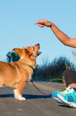 A Black woman trains a Pembroke Welsh Corgi. All about dog training & how to train your dog