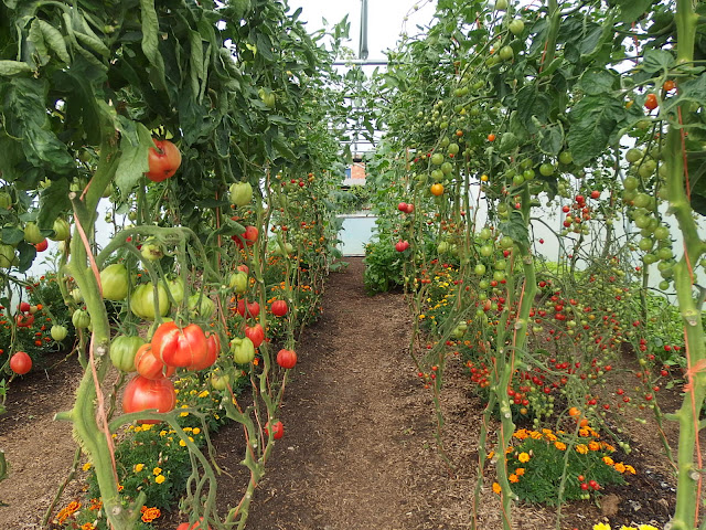 Tomatoes in the polytunnel at Homeacres