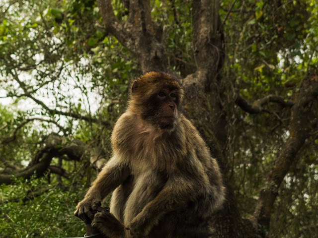 A Barbary macaque in a tree in Gibraltar.