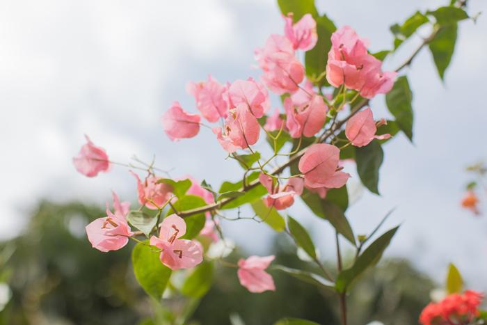 bougainvillea light pink