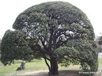 Black ridge oak, Tokushima, Japan