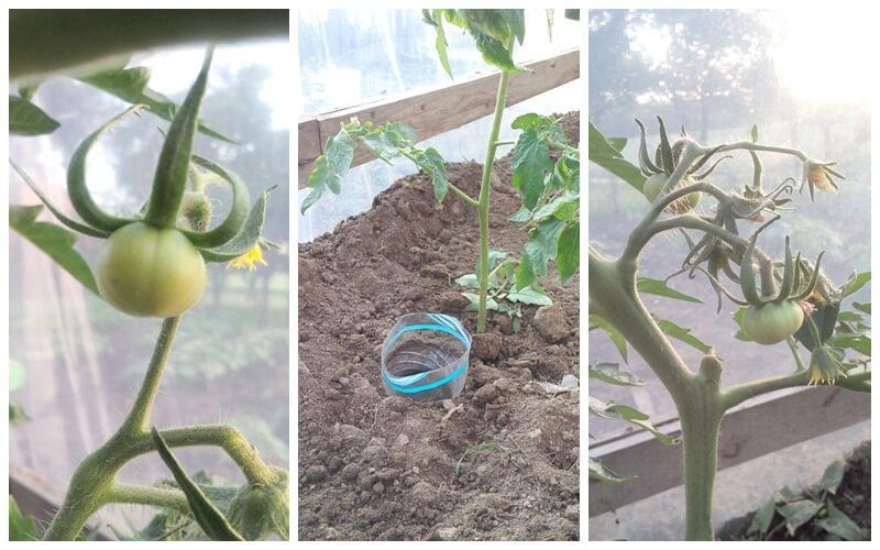 podlewanie pomidorów