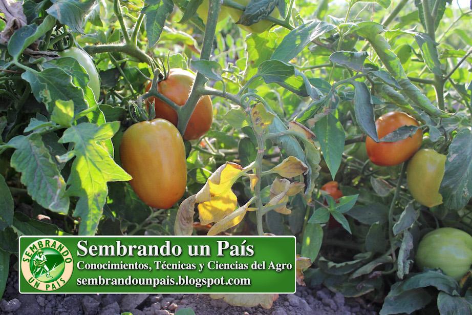 tomate perita (planta y frutos)