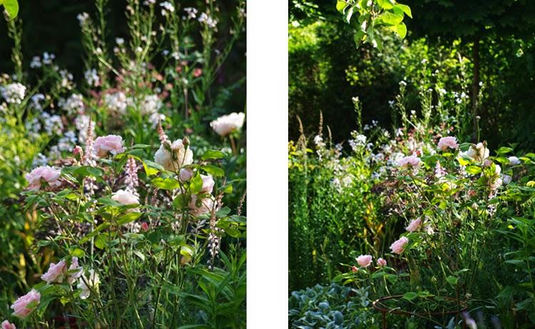 Mørkt løv og lyserøde roser giver et effektfuldt staudebed med masser af oplevelser. Meget dramatisk i aftensolen
