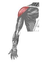Músculos de los brazos imagen