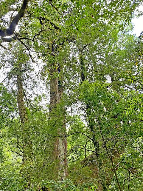 12號巨木