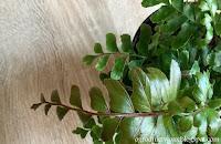 Didymochlena wyniosła (Didymochlaena truncatula)