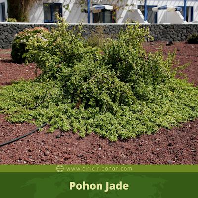 Ciri Ciri Pohon Jade