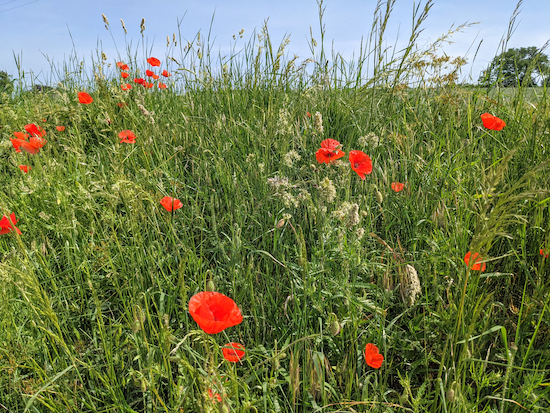 Poppies in the hedgerow between points 16 & 17