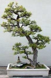 perawatan tanaman bonsai ialah sebuah misteri Kata pengantar perihal Tanaman Bonsai