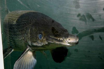 Ikan Aligator Gar Sungai Amazon